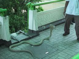 Ternyata ada ular berkepala lima di dunia ini.......Wow yang bilang keren