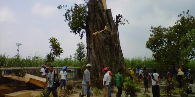 Heboh, Pohon 200 Tahun Berdiri Lagi Seusai Tumbang Sejak dua hari ini warga Kediri, Jawa Timur, dihebohkan dengan kabar berdirinya kembali sebuah pohon tua yang telah tumbang di areal pemakaman Dusun Joho, Desa Sumberrejo, Kecamatan Ngasem.
