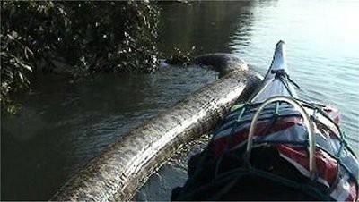 Warna tubuh anaconda ini bukan hijau melainkan coklat gelap n dikenal oleh penduduk lokal dgn sebutan Yacumama.Yacumama berarti sebagai Ibu Perairan, lewiatan-nya hutan belantara. dalam salah satu videonya,ia memakan badak seperti memakan ikan