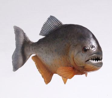 klik wow maka ikan piranha akan membuka mulutnya!!!