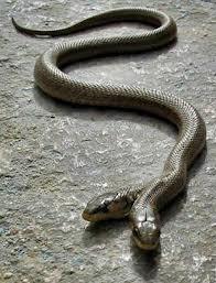 ular berkepala 2 :)