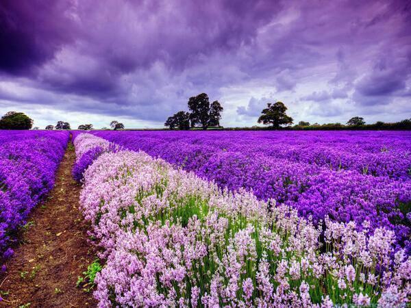 Kebun Lavender di Provence, France.