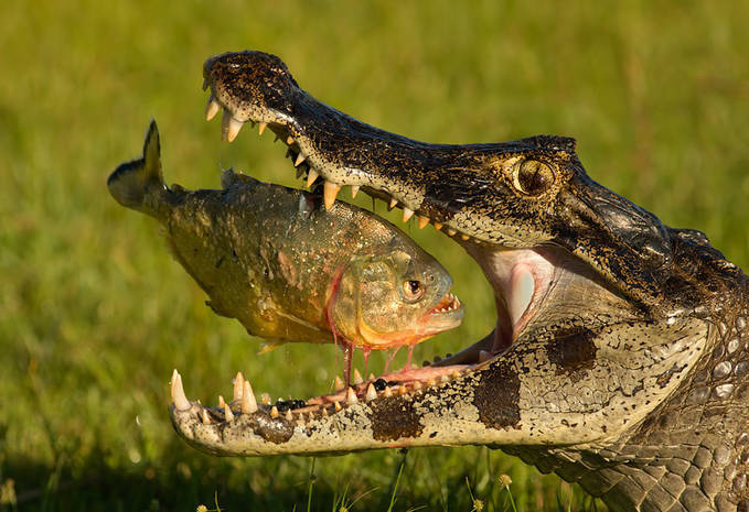 PIRANHA VS CROCODILE..