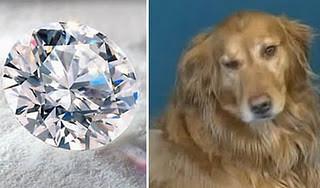 Anjing yang menelan berlian senilai $ 20.000 di Toko perhiasan Sebuah dealer berlian tidak pernah membayangkan bahwa berlian senilai $ 20.000 nya akan tampak seperti biskuit anjing , tetapi seekor anjing bernama Sully punya rencana lain. Bulan
