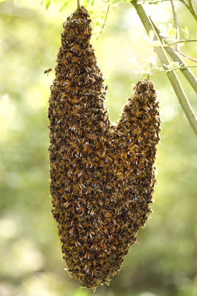 formasi lebah berbentuk hati