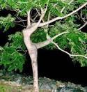 pohon aneh berbentuk penari wanita klik wow wanita akan menari