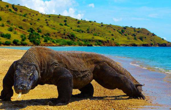 Pulau Komodo terletak di wilayah Provinsi Nusa Tenggara Timur (NTT). Pulau itu menjadi tempat hidup hewan komodo. Pemandangan alam di pulau ini sangat indah.Makanya kita harus bangga menjadi anak Indonesia.
