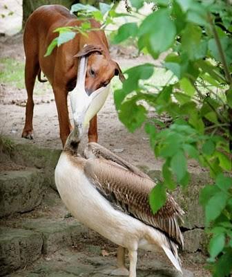 Wah pertarungan antara anjing dan angsa amerika ... siapa yaa yang akan menag ???