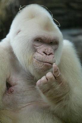 ini dia gorilla albino