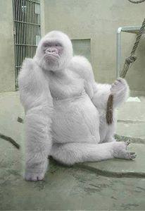 Snowflake Gorilla.
