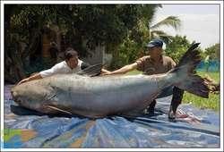 ikan lele terbesar didunia