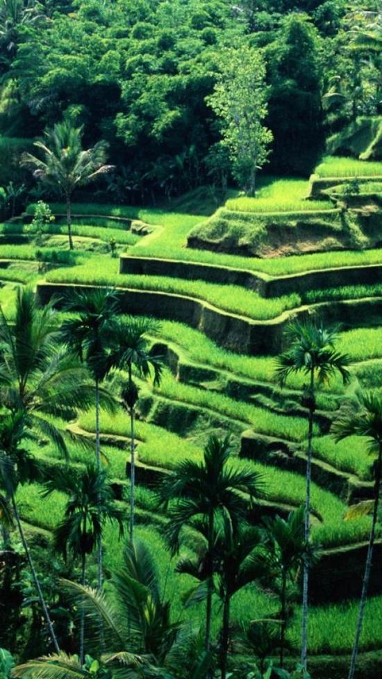Pemandangan area persawahan di Bali