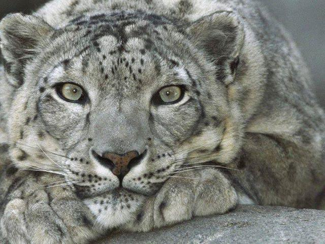 Snow Leopard :lope: