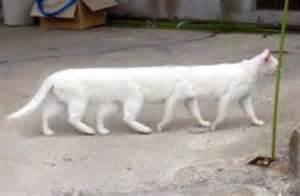 gambar lucu kucing unik kaki banyak