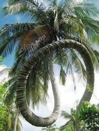 Pohon Kelapa Lengkungan Tingkat DEWA !! WOW :D