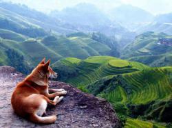 Wow, anjing ini menatap hamparan sawah yang begitu unik :3