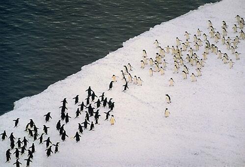 Penguin battle