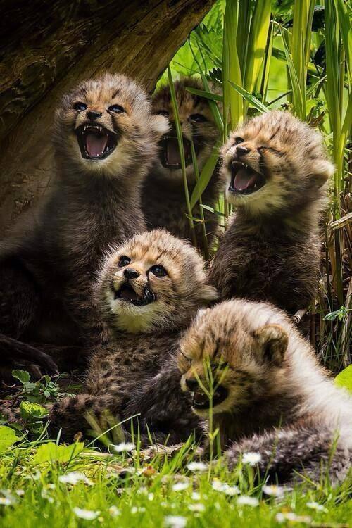 Bayi cheetah lucu juga :))