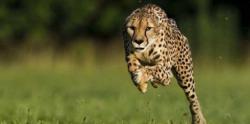 Cheetah Tercepat Lari 100 Meter dalam 6 Detik