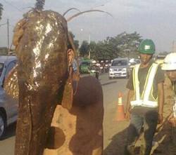 Ikan Lele Terbesar Di Dunia Ada di Bogor   Kira kira seberapa besarkah ikan lele ya