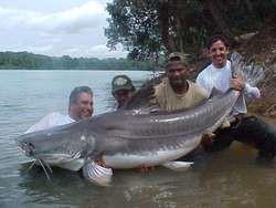 inilah ikan lele terbesar di dunia yg panjang nya mencapai 1,2 meter, dan berat nya mencapai 353 kg, ikan lele ini di temukan di danau amazon
