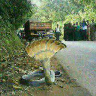 jember,jawa timurr ularr brkepala 7 nyataa...... wowwww duluu donkk....