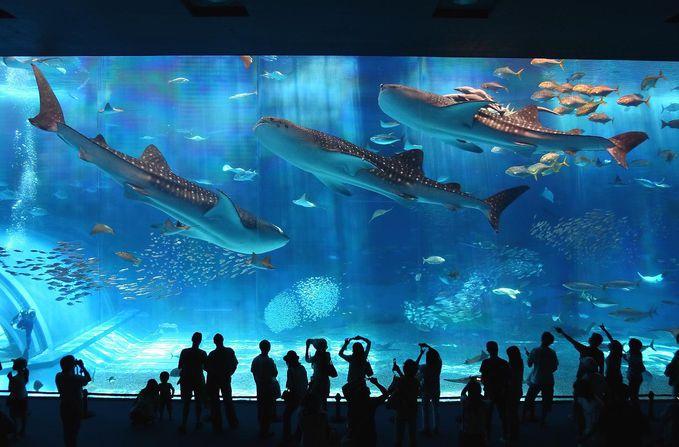 Akuarium Churaumi Okinawa - sebuah object wisata akuarium yang terletak di Taman Ocean Expo, Jepang. Akuarium Terbesar kedua di Dunia setelah Akuarium Georgia di Atlanta. Keren Banget nih PULSKER !