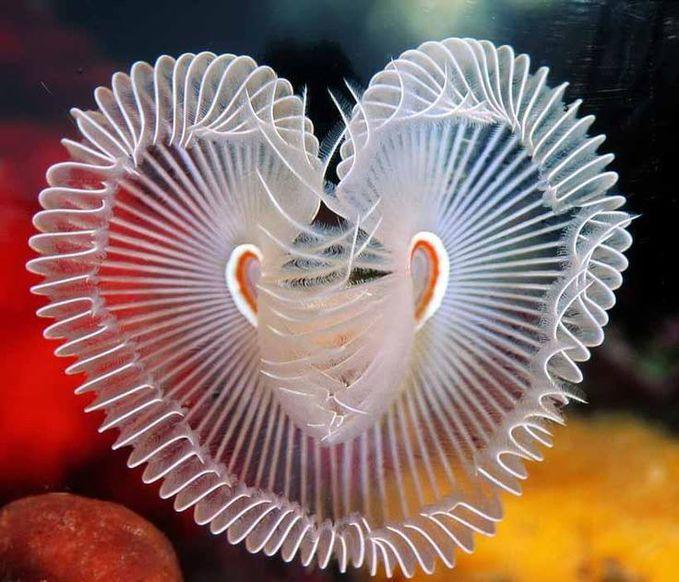 Les sabelles des sables , a kind of sea worm