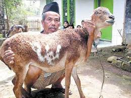 subhanallah Dibadan Seekor kambing ini Tertulis Nama Allah,,,!! Bisa dilihat langsung,,, Tulisan nya sangat jelas koq,,,!! Jng lupa injekin w0w nya,,,!!