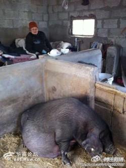 Anak Durhaka Biarkan Ibu Tinggal Dalam Kandang Babi