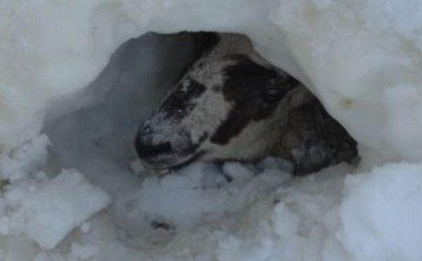 Domba Hamil Ini Masih Hidup Setelah Tertimbun 11 Hari