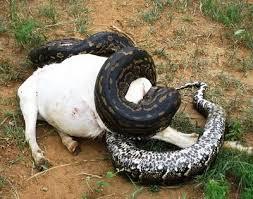 ular anaconda ini memekan seekor sapi