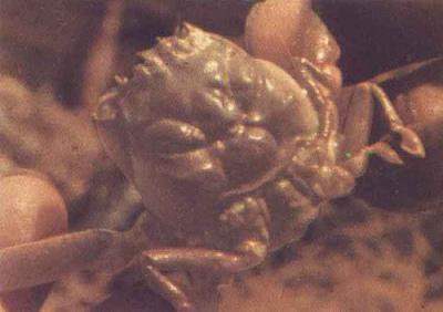 hahaha lucu kepitingnya mirip wajah manusia.. :D