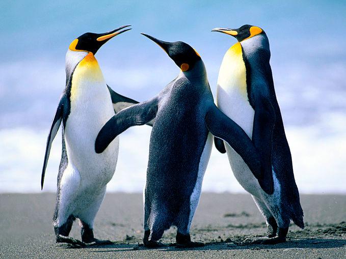 TENTANG PINGUIN : Penguin atau pinguin (ordo Sphenisciformes, famili Spheniscidae) adalah hewan akuatik jenis burung yang tidak bisa terbang dan secara umum hidup di belahan Bumi selatan. Di seluruh dunia terdapat 16 spesies penguin[1]tergantug