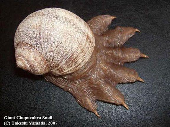 Penemuan Dr Takeshi Yamada yang menghebohkan lainnya adalah keong raksasa yang ditemukan dari laut terdalam. Kakinya seperti chupacabra, karena itu diberi nama siput chupacabras.