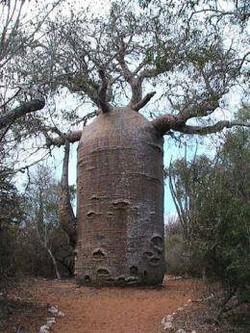 Apakah Anda mengenal pohon Baobab yang memiliki nama latin Adansonia Digitata