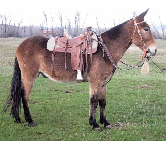 Mule Atau Bagal Blasteran Keledai Kuda