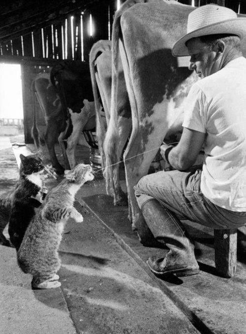 WOW...Kucing ini berbaris untuk minum susu sapi langsung dari badan sapi... :D :D :D :D :D :D