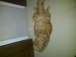 5 alasan utama kenapa kucing mengeong terus: Itu kucing saya di atas namaya oggy:-)