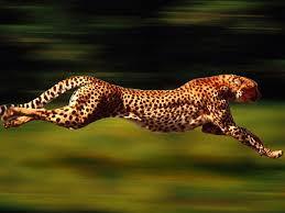 Cheetah Tercepat Lari 100 Meter dalam 6 Detik Cheetah betina berusia 11 tahun dari Kebun Binatang Cincinati, Ohio, AS, bernama Sarah dinobatkan menjadi cheetah tercepat. Bayangkan, hewan ini bisa berlari dengan parak 100 meter hanya dalam 5,95