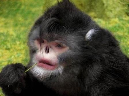"""Monyet pesek? sungguh aneh, binatang ini memiliki nama """"Snub Nose Monkey"""", dan yang pasti bukan jelmaan penyihir jahat voldemort, haha.. Pulsker yang baik, tidak lupa WOW."""