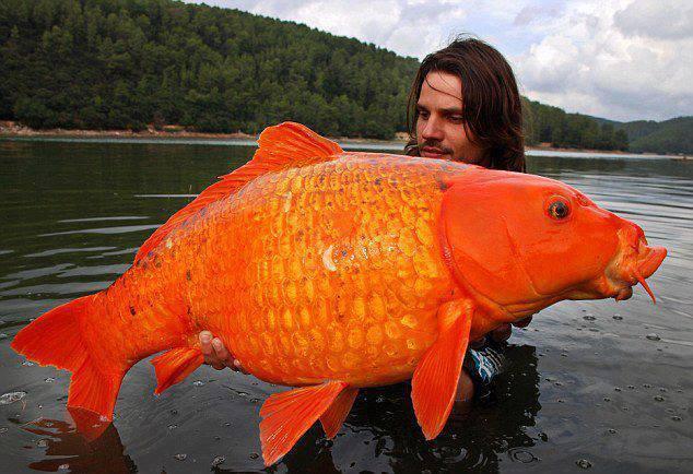 Mungkin ini ikan Koi terbesar di Dunia yang berhasil ditangkap di alam liar oleh seorang Pria ketika memancing di Perancis