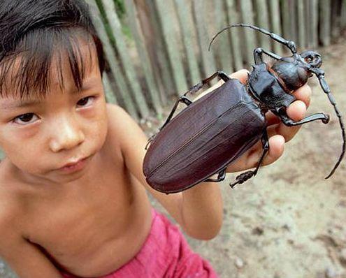 Titan Beetle yang konon katanya adalah kumbang terbesar di dunia. 6.6 inci adalah yang terbesar yang pernah ditemukan.