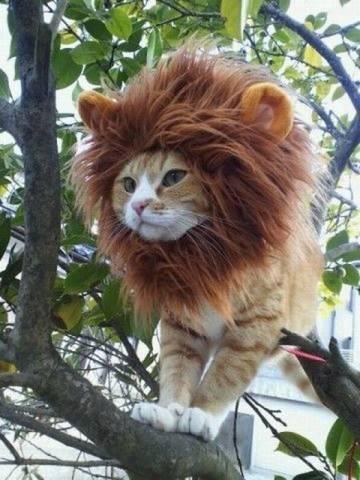 singa terkecil didunia umur uda 20 taon,.,..,.,