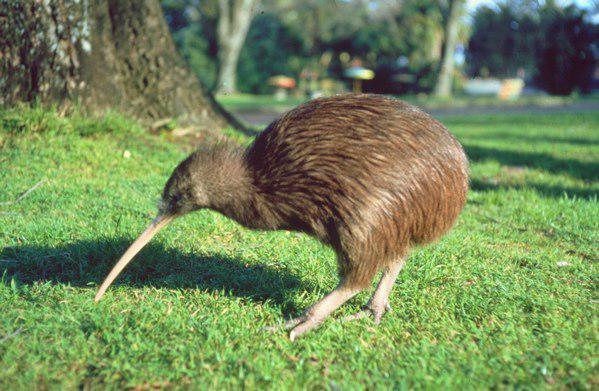 sori ngepost gambar beginian. ada yang tau nggak ini burung apa? namanya burung kiwi. yang jawab bener dapet nilai seratus, yang jawab salah & nggak tau minta wow-nya dong. ^_^ hehehe