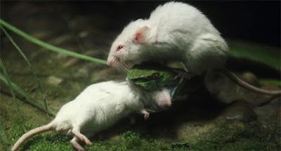 Di sebuah kebun binatang, Hangzau Zoo di provinsi Zheijang, Cina Timur, terjadi pemandangan unik sekaligus mengharukan. seekor ular diserang oleh tikus yg sedang menyerang tikus lain dengan gigih untuk menyelamatkan temannya.woooww