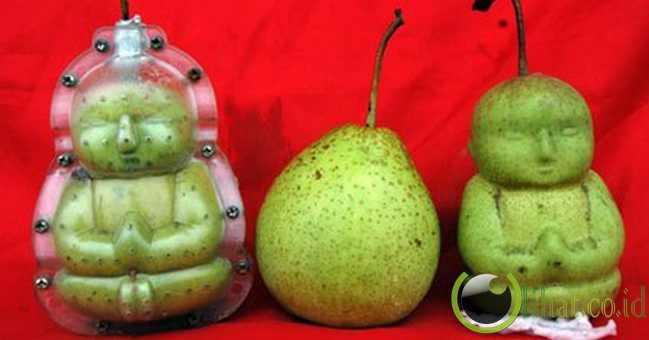 Buah pir berbentuk buddha itu ternyata memang dicetak loh!
