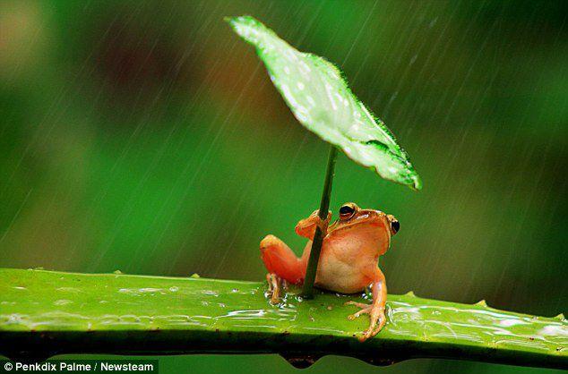 katak kecil kecil tersentak menempel daun untuk berlindung dari hujan di Jember, Jawa Timur, Indonesia