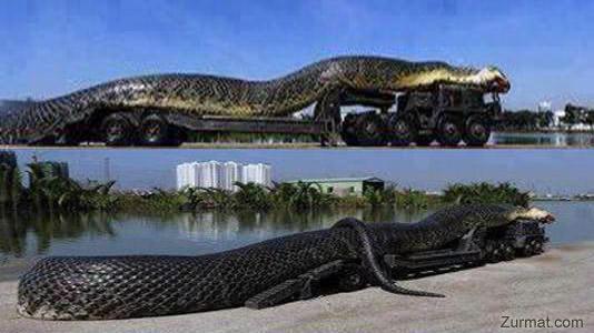 ini asli ular terbesar di arab saudi