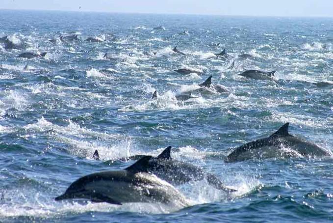 Fenomena Langka!!! Migrasi Ribuan Lumba-lumba